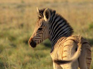 Khama Rhino Sanctuary Zebra